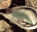 Les triploïdes -huîtres transgéniques stériles- font des petits